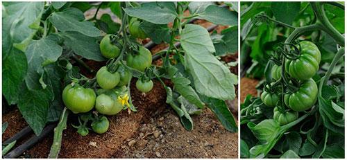Tomates Paso Doble ecologicos naturales